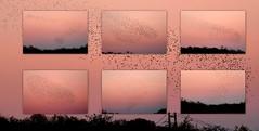 Starling Murmuration, Far Ings (robin denton) Tags: collage wildlifetrust lincolnshirewildlifetrust starlingmurmuration murmuration birds starling wildlife nature picasa humberbridge