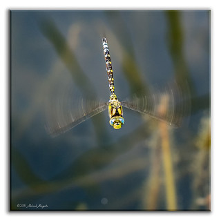 Migrant Hawker Dragonfly - Helicopter Wings