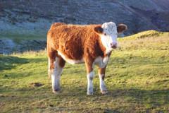 Cattle, Heap Clough (mrrobertwade (wadey)) Tags: mrrobertwade rossendale robertwade lancashire wadeyphotos haslingden milltown pennines