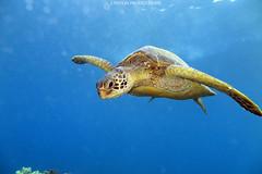 IMG_0119 copy (Aaron Lynton) Tags: spanish dancer snorkel scooter maui hawii hawaii canon g1x spanishdancer turtle honu tako octopus ocean animals papio yellowspotpapio starfish