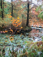 Autumn at Cypress Pond (Ruth and Dave) Tags: cypresspond vandusen botanicalgarden shaughnessy vancouver pond garden tree autumn colours orange green fall cypress landscaping lilypond lilypads waterlily