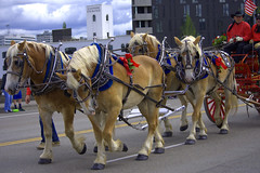 A Team Of Horses (swong95765) Tags: horses team hitched wagon parade
