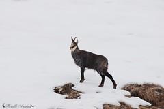 Camoscio (Rupicapra rupicapra) (Am.Am) Tags: camoscio rupicapra ungulati amori rupicaprarupicapra andreamorelli morelli alpiretiche alpi italia fauna faunaalpina natura neve