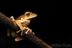 Polypedates megacephalus -  Common Tree Frog (Max Ryan Photography) Tags: polypedates frog treefrog amphibian macro herping herptology animal nature outdoor