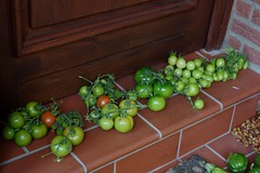 Harvest time (V) (dididumm) Tags: autumn fall garden green harvest harvesttime tomato tomatoes solanumlycopersicum tomaten tomat erntezeit ernte grün garten herbst