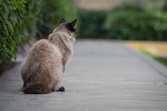 _MG_1419 (franztomandl) Tags: cat cats kitten beautiful pet siames gato gatos pool piscina walking blue eyes ojos azules