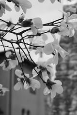 Linee (s81c) Tags: fiori flower bw bn bianco albero tree