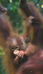 Regards enfantins (stephaneallain) Tags: orangs outans animaux borno malaisie voyage nature vie sauvage rserve