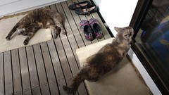 Playing Dead (~ MCJ) Tags: josie rescuecat greybluecreamtortoiseshell 10yo cardiomyopathy matilda