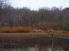 Low water level at Farrington Lake (Dendroica cerulea) Tags: lake drought wetlands autumn farringtonlake lawrencebrook irelandbrookconservationarea eastbrunswick middlesexcounty nj newjersey