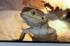 Bartagame (JuliSonne) Tags: reptil agame bartagame neugierig schuppen kriechtier krallen hornplatten kegelschuppen dornschuppen stachel tier