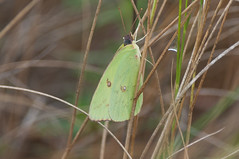 Clouded Sulphur, Clouded Day (martytdx) Tags: capemay nj birding birds migrationfall2016 insects butterfly sulphur cloudedsulphur coliasphilodice female colias familypieridae medium yellow whitesandyellows pieridaemsulphurs coliadinae bmna
