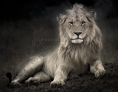 Kenya Lion (Jerry Fornarotto) Tags: africa african animal carnivore cat expression eyes face faceexpression fauna feline fur jerryfornarotto kenya king lion male malelion mammal mane nature piercingeyes portrait predator profile safari stare wild wildlife young younglion