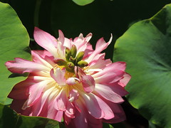 on the way out (Grenzeloos1) Tags: lotus nelumbonucifera