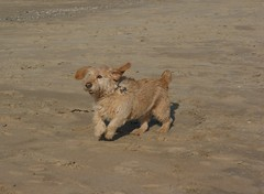 DSC02680 (2) (gdw1969) Tags: basset fauve de bretagne beach ross dog pet running