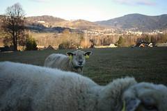 Sheep... (Ambrosini 46) Tags: canon 70d pancake sheep farm jesenky mountains czech republic cze farming nosnow winter