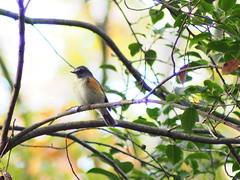 (Polotaro) Tags: fzuiko300mmf45 bird nature olympus epm2 pen       zuiko  11