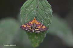 ... Pyrausta purpuralis (Linnaeus, 1758) (Plebejus argus) Tags: pyraustapurpuralis crambidae falene moths lepidotteri insetti macro montilepini lazio italia