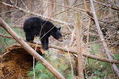 Cub on a Log (Longleaf.Photography) Tags: cub bear blackbear yearling cadescove animal wildlife smokies tn gsmnp townsend gatlinburg