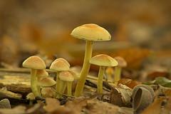 A big family of mushrooms (Roland B43) Tags: group mushrooms wood autumn fall udorwood brugge belgium vivitar90mm28macro