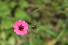 The Pink One (Omair Anwer) Tags: pink flower macro blossom 10 bud shogran