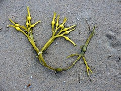 Seaweed017 (Quetzalcoatl002) Tags: life seaweed beach strand coast seaside scheveningen sealife vegetation attractiveness zeewier