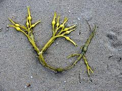 Seaweed017 (Quetzalcoatl002) Tags: life seaweed beach strand coast seaside scheveningen sealife vegetation attractiveness zeewier