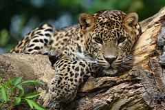 Jaguar (zsnajorrah) Tags: portrait france nature animals zoo explore jaguar concours panther maubeuge ef70200mmf4lis zoodemaubeuge 7dmarkii