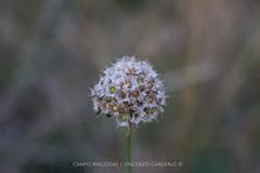 Fiore del Partenio (Vincenzo_Garofalo) Tags: white mountain flower trekking italia hiking natura fiore altopiano mothernature avellino montevergine irpinia campomaggiore parcoregionaledelpartenio vincenzogarofalo terredellupo