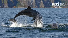 _7D21313 (Charlie S Phillips) Tags: dolphin wildlife phillips watching conservation wdc charlie moray firth bottlenose tursiops truncatus