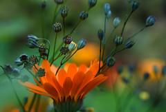 Autumn Glow (Raggedjack1) Tags: orangeflower seedheads calendula wildsown