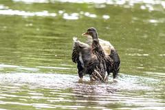 Badespa und Krperpflege Teil 3 (part3) (thorvonasgard) Tags: duck wasser schwimmen wildlife natur ente baden pflege spas flus prims