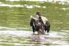 Badespaß und Körperpflege Teil 3 (part3) (thorvonassgard) Tags: duck wasser schwimmen wildlife natur ente baden pflege spas flus prims