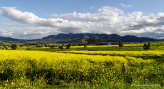 Fields of Yellow (loobyloo55) Tags: yellow landscape australia newsouthwales huntervalley