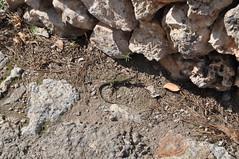 DSC_0265 (L.Karnas) Tags: sea beach strand island islands spain mediterranean playa lizard menorca cala spanien minorca eidechse balearic inseln mittelmeer galdana balearische