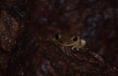 DSC_1400 (akkythegunner) Tags: macro green nature photography snake wildlife insects frogs viper herp herps matheran naturephotography macrophotography catsnake greenvinesnake bamboopitviper