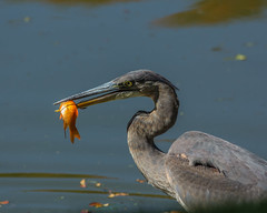 Lunch - Great Blue Heron - 4761 (Art Norton) Tags: fall lunch greatblueheron mtauburncemetery