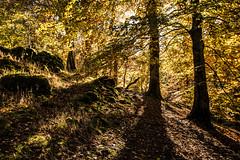 Woodland sunshine in mid Wales (Explore) (babs pix) Tags: autumn trees wales woodland westwales autumnleaves autumncolours snowdonia dolgellau torrentwalkdolgellau
