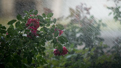 (Chains of Pace- Road Trip to LA) Tags: oklahoma rain rose garden depthoffield guymon