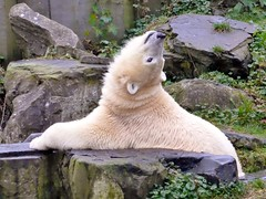 what about snow? (BrigitteE1) Tags: holland zoo ne netherland ijsbeer animalia mammalia ursus emmen  bren eisbr ursusmaritimus  oursblanc polarbr ursidae carnivora isbjrn lale ursopolar osopolar chordata raubtiere jegesmedve orsopolare dierenparkemmen jkarhu specanimal kutupays ursinae  nanoq vulnerablespecies hvtabjrn sbjrn canoidea hundeartige  niedwiedpolarny   polarbearlale eisbrlale dasgrsteanlandlebenderaubtierdererde   whataboutsnow