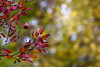autumn fires (Sabinche) Tags: autumn fall leaf leaves red green nature bokeh hbw outdoor