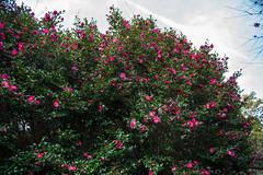 TOKUSHIMA DAYS - Kamiyama forest park (junog007) Tags: autumn flower nikon shikoku tokushima d800 2470mm kamiyama nanocrystalcoat camelliahiemalis