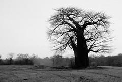 Embondeiro (MickPt) Tags: trees lumix arvores mozambique tete mocambique tz10