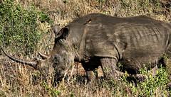 White Rhino (hbp_pix) Tags: africa elephant south rhino zebra giraffe hluhluwe zululand hbppix