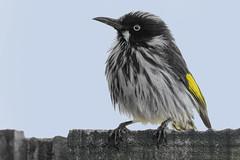 New Holland Honeyeater 2015-11-14 (_MG_6582) (ajhaysom) Tags: australia melbourne australianbirds newhollandhoneyeater phylidonyrisnovaehollandiae greenvale canoneos60d sigma150600