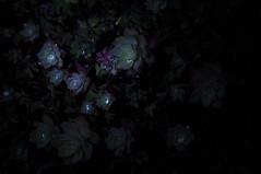 Calici verdi (Guido Giachetti) Tags: flowers light detail night contrast dark drops play details dew di dettagli fiori chiaroscuro rugiada notte luce gioco gocce dettaglio