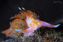 Godiva rachelae (Randi Ang) Tags: godivarachelae godiva nudi nudibranch rachelae seraya secret tulamben bali indonesia underwater scuba diving dive photography macro randi ang canon eos 6d 100mm randiang