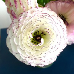 Ranunculus (Bulbulal) Tags: flowercolor ranunculus
