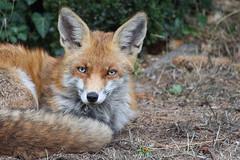 Rotfuchs (Trutnauphotography) Tags: fuchs fox redfox rotfuchs animal