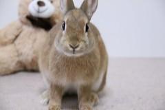 Ichigo san 424 (mensore) Tags:  rabbit bunny netherlanddwarf brown cute pet family ichigo